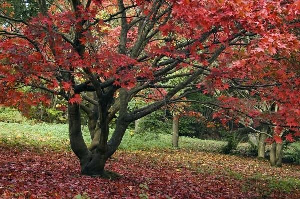Фото красных деревьев
